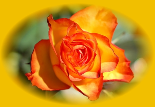 Rose gelb orange